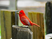 Zion Summer Tanager
