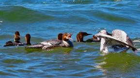 Mother Merganser vs Gull