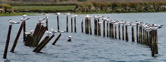Cotillion of Terns
