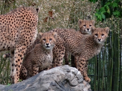 5 Month-Old Cheetah Cubs