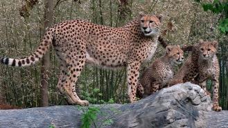Bingwa and Cheetah Cubs