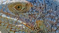 Eye of the Iguana