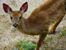 Mule Deer on Simpson Beach 50' Below