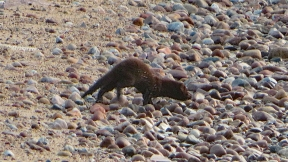 Mink on the Beach