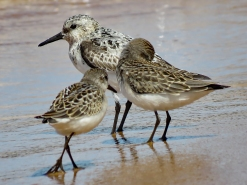 Semipalmated Sandpipers - Adult and 2 Juveniles