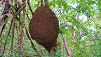 Termite Nest with ~3' Diameter