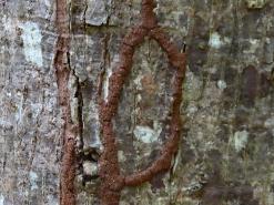 """Termite Trails ~1"""" Wide"""