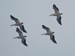 Pelican's Passing Overhead